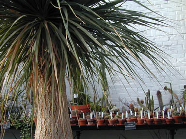 A Pony Tail Palm in the greenhouse