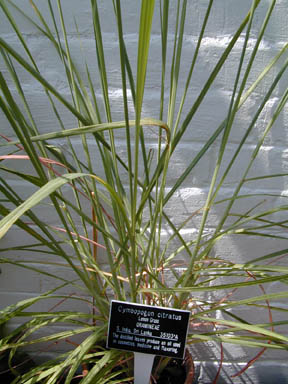Lemon grass in the greenhouse