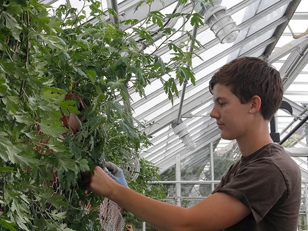 Summer intern Pam Matcho pinning mum in the greenhouse