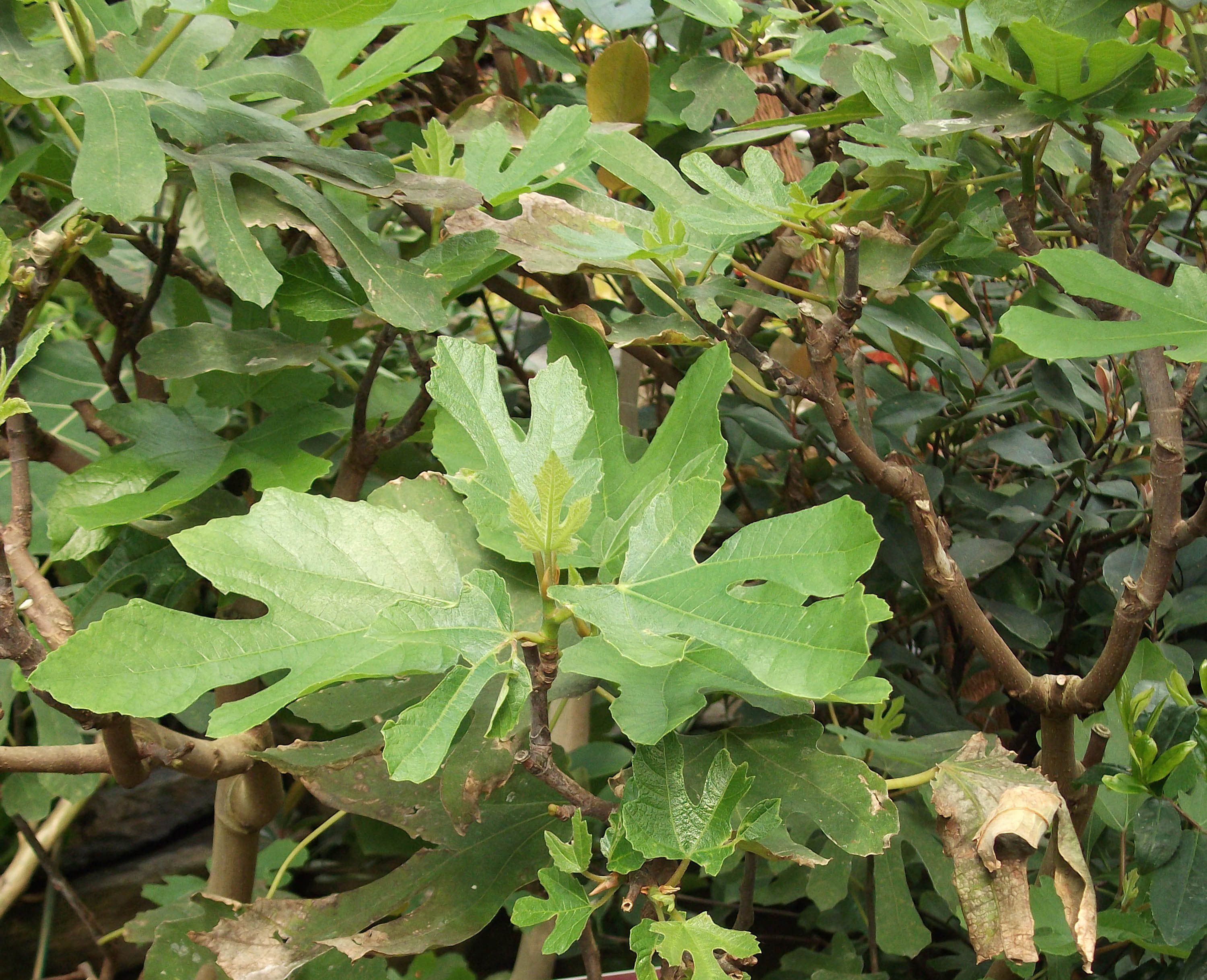 Leaves of a fig plant in the greenhouse
