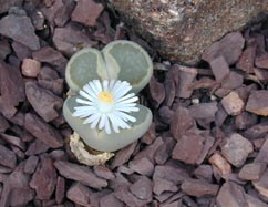 Flower blooming from a Living Stone in the greenhouse