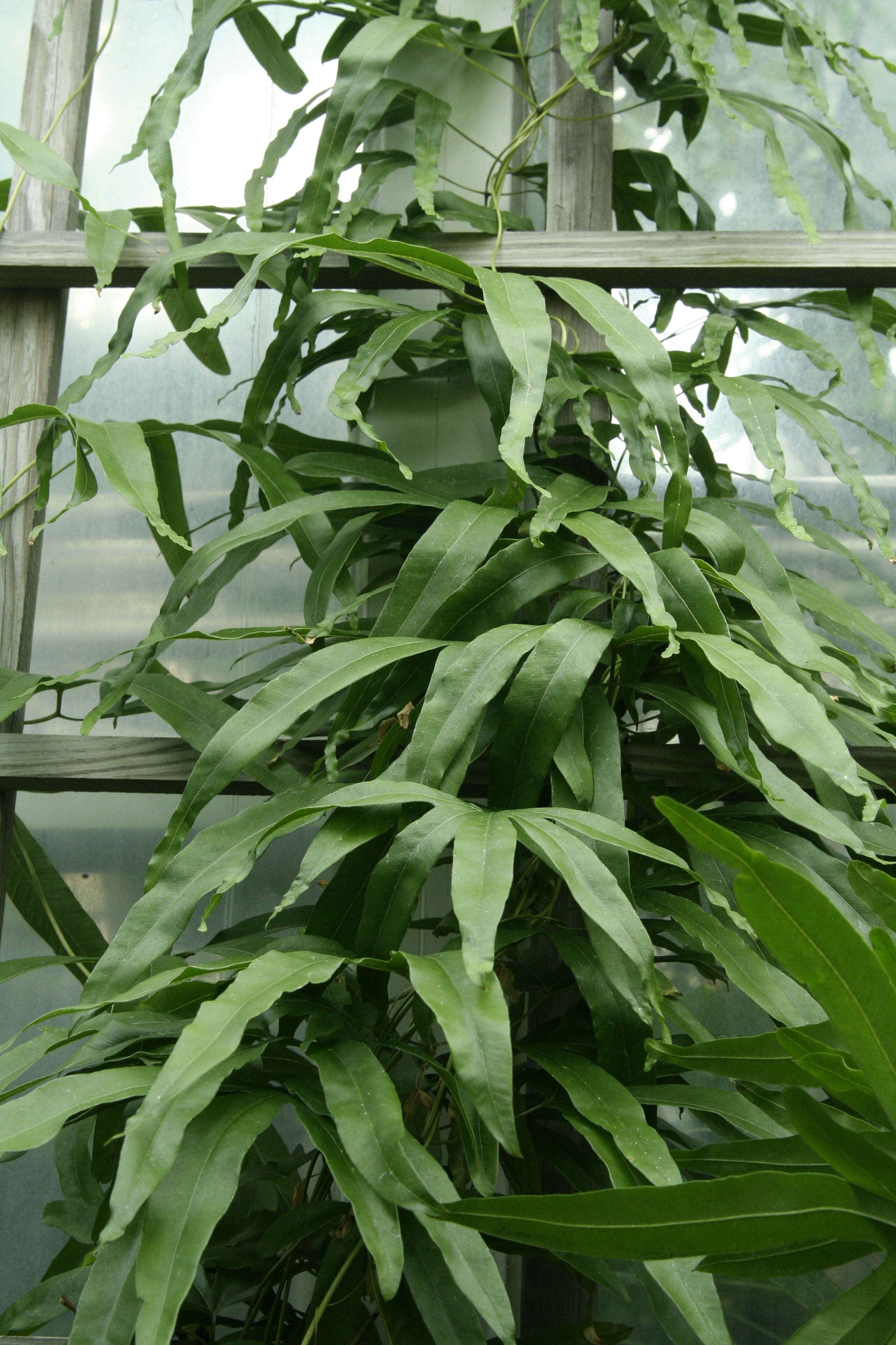 Leaves of a Lygodium in the greenhouse
