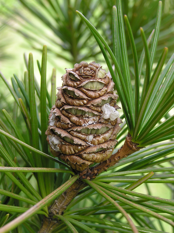 cone among the needles