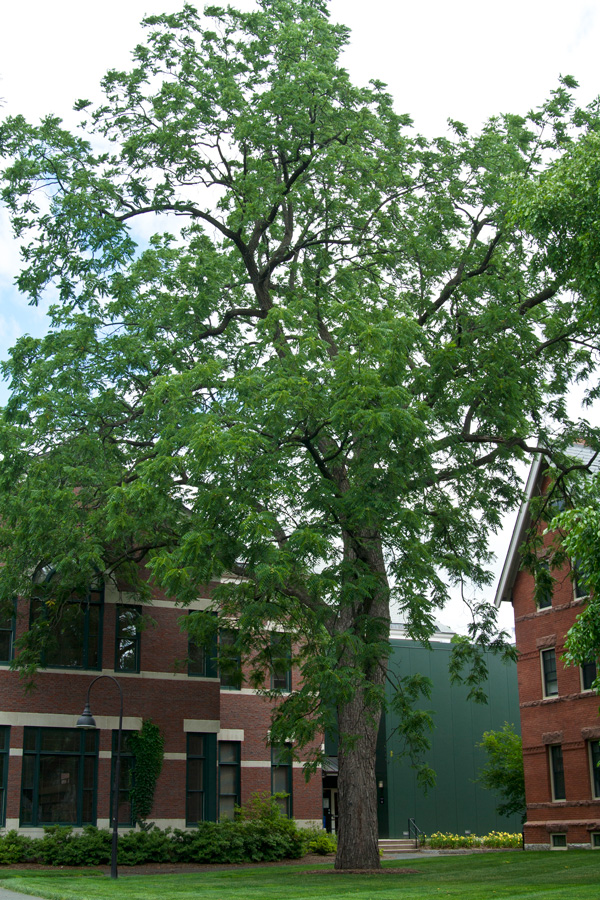 large black walnut tree