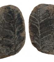 Alethopteris fossils