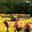 purple, yellow and pink tulips
