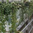 Ivy plants, long trailing green foliage