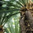 cones on cycad plant