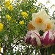 Bulb Show 2009 - Tulips, daffodils and Canary broom