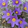 Pulsatilla ambigua, pasque flower
