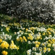 thousands of daffodils