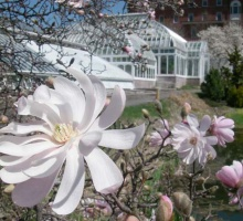 magnolia flower in front of the Lyman Conservatory