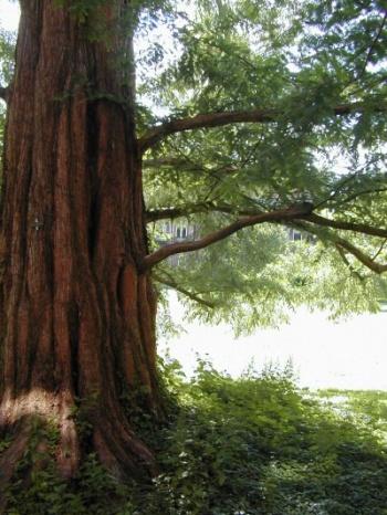 Metasequoia glyptostroboides _ Dawn Redwood