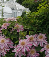 Clematis Evipo011, Empress™ Clematis, woody vine with large pink don