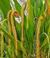 Dendrochilum magnum, large orchid with gold colored chains of blooming flowers