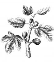 _Ficus carica_, fig
