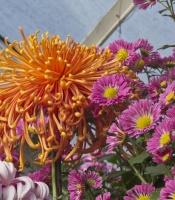 orange and purple chrysanthemums