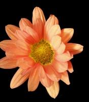 2016 student hybrid mum contest winner flower picture