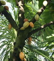 cacao pods on the tree