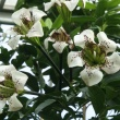 funnel shaped white flowers with maroon speckles