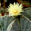cactus with yellow flower