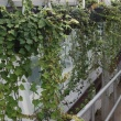 Ivy plants, long trailing green foliage