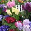 Bulb Show 2006 - Cineraria and Hyacinths