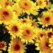 Anemone type chrysanthemums