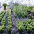 Chrysanthemums growing in the Cold Storage House