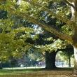 large campus trees