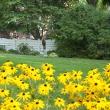 Trudy's garden with black-eyed Susans in foreground