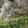 daffodils and magnolias in bloom
