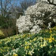 yellow and white daffodils and a white magnolia blooming