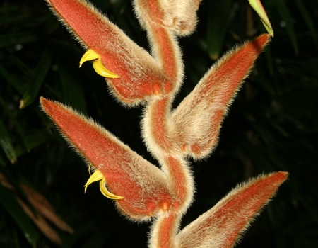 Heliconia flowering stalk