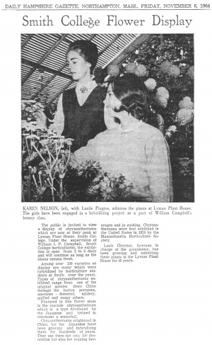 Daily Hampshire Gazette Mum Show article, 11-6-1964. Pictured left is student Karen Nelson, right is Lucile Pingree, hybridizing mums in William Campbell's Botany class.