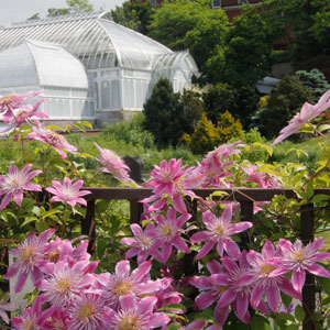 Lyman Conservatory with pink clematis flowers blooming in the foreground