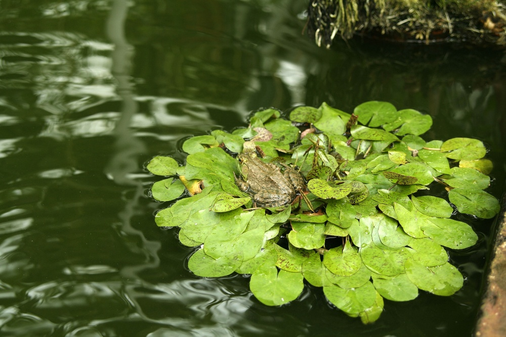 Aquatic plants in the Stove House Pond