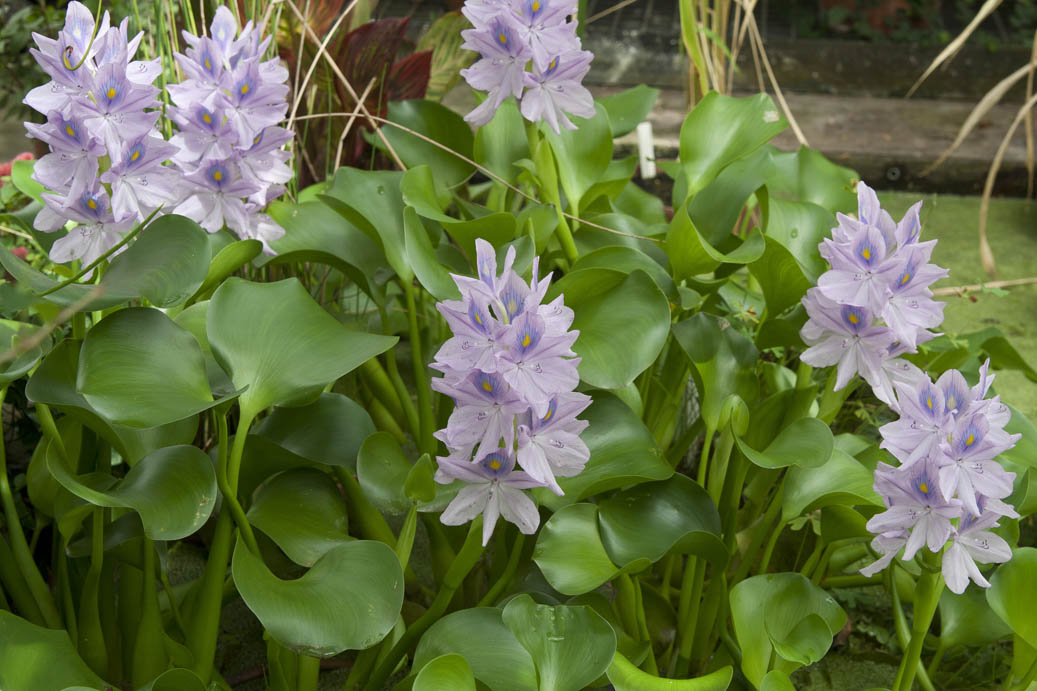 water hyacinths in the Warm Temperate House