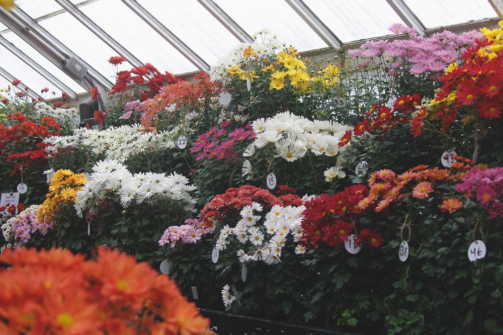 Fall chrysanthemum Show Student Hybrids