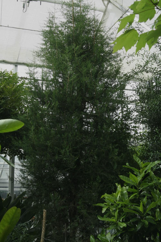 Cupressus dupreziana