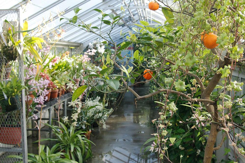 Citrus plants with fruit in the Camellia Corridor
