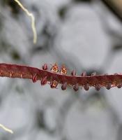 Bulbophyllum sandersonii, Sanderson's Bulbophyllum