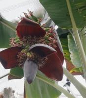 edible banana