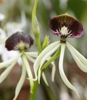Prosthechea cochleata, clamshell orchid