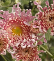 Booming Chrysanthemums