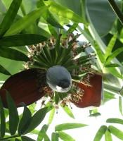 banana flowering stalk