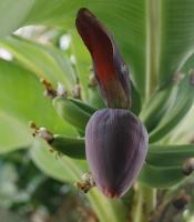 blooming dwarf banana