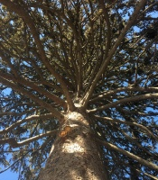 looking up the trunk of a big pine tree