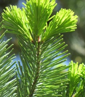 Abies sachalinensis, Sakhalin Fir
