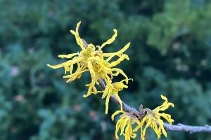 Hamamelis virginiana, native woodland witch hazel